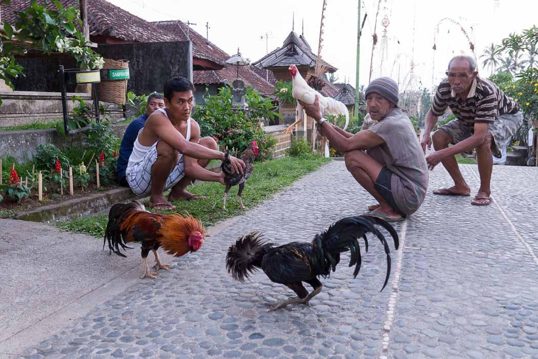 村の交差点で闘鶏をする男たち